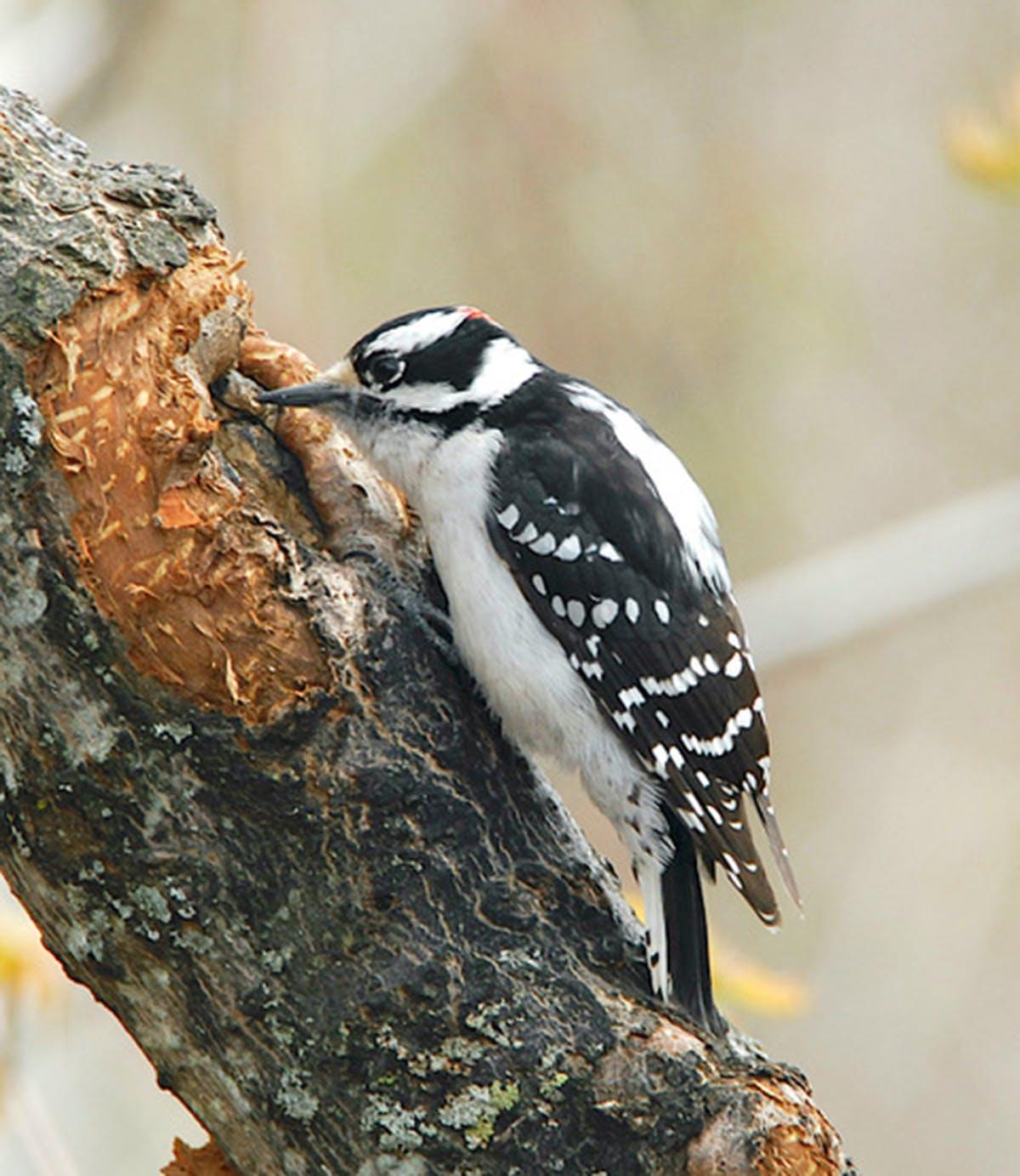 A downy woodpecker probes tree bark.
