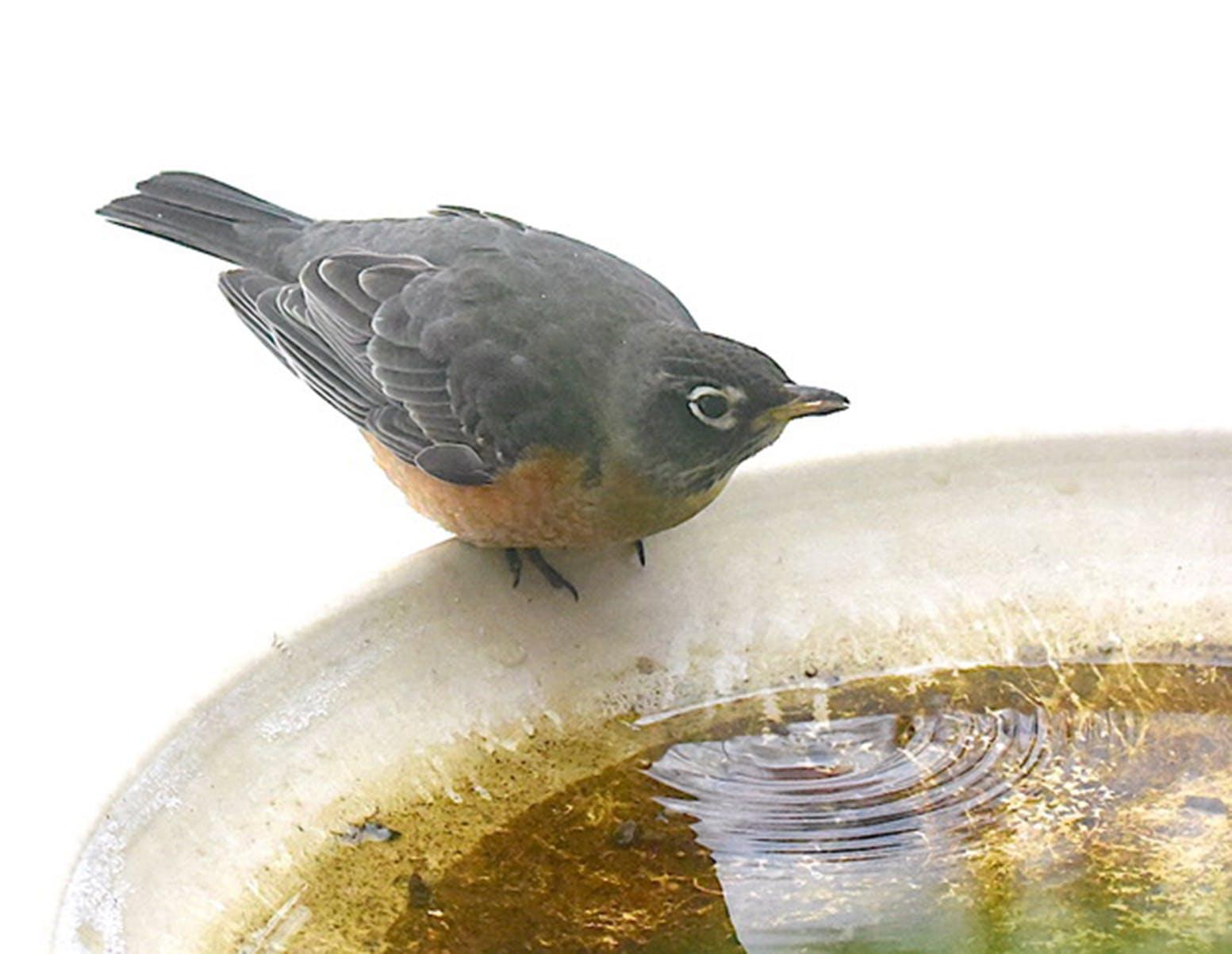 Add more robins and the birdbath gets messy.