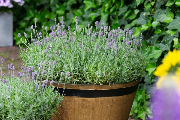 Credit: National Garden BureauLavender may not be hardy in Minnesota. Don't let that keep you from growing it this summer. Variety: cleo patio evant
