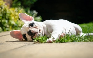 Watch out, Labs: French bulldogs poised to win the pooch popularity contest