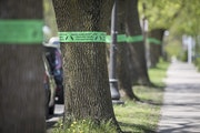 Emerald ash borer infestations lead to removal.