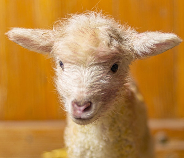 Animal babies born at the Minnesota Zoo's farm this spring include 11 piglets, three lambs, two goat kids, and a number of chicks.