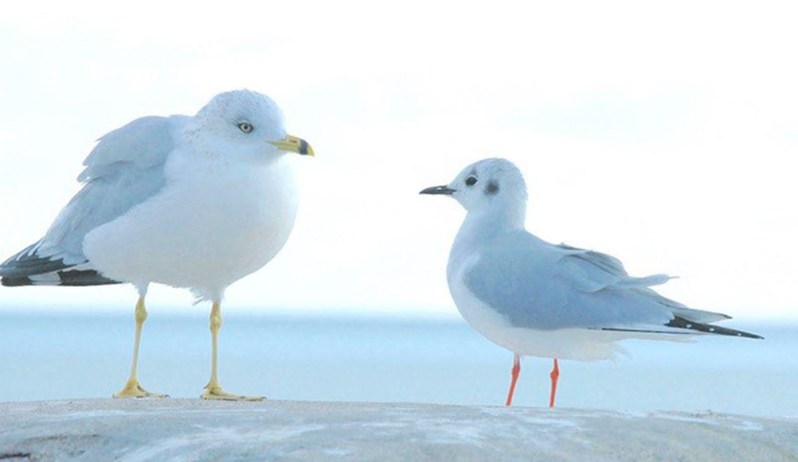 Ring-billed gull, left, Bonaparte's gull, right, both in winter plumage.