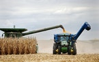 Minnesota farmers had their most profitable year in 2020 since 2012, a survey by the University of Minnesota Extension showed. File photo of a corn ha