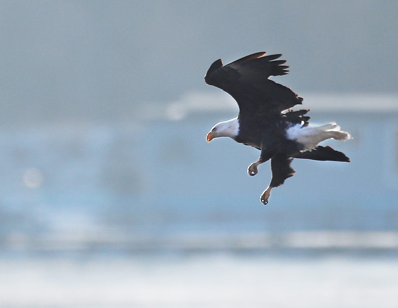 In winter, bald eagles frequent open water on the Mississippi River near Alma, Wis. Their numbers, once low, are increasing.