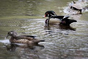 The Department of Natural Resources has proposed changes to the waterfowl season.