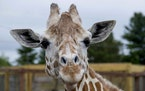 This undated photo, provided by Animal Adventure Park on Sunday, June 3, 2018, shows a giraffe named April at Animal Adventure Park in Harpursville, N