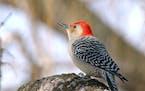 Red-bellied woodpeckerJim Williams photo