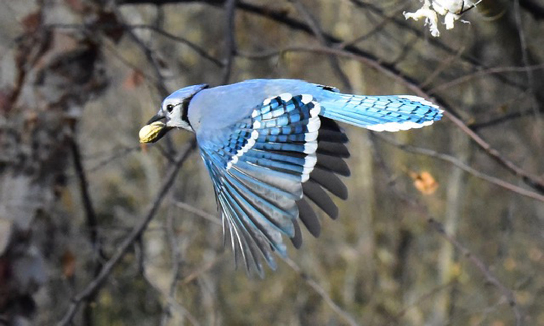Blue jay with its prize.