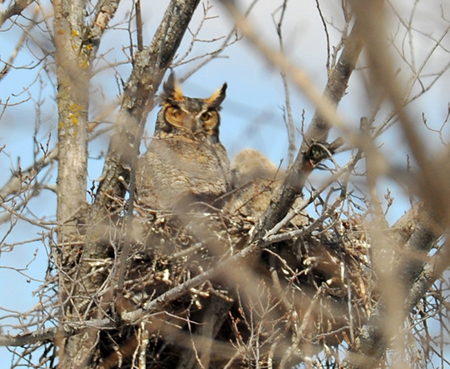 Great horned owls pose a threat to smaller owls.