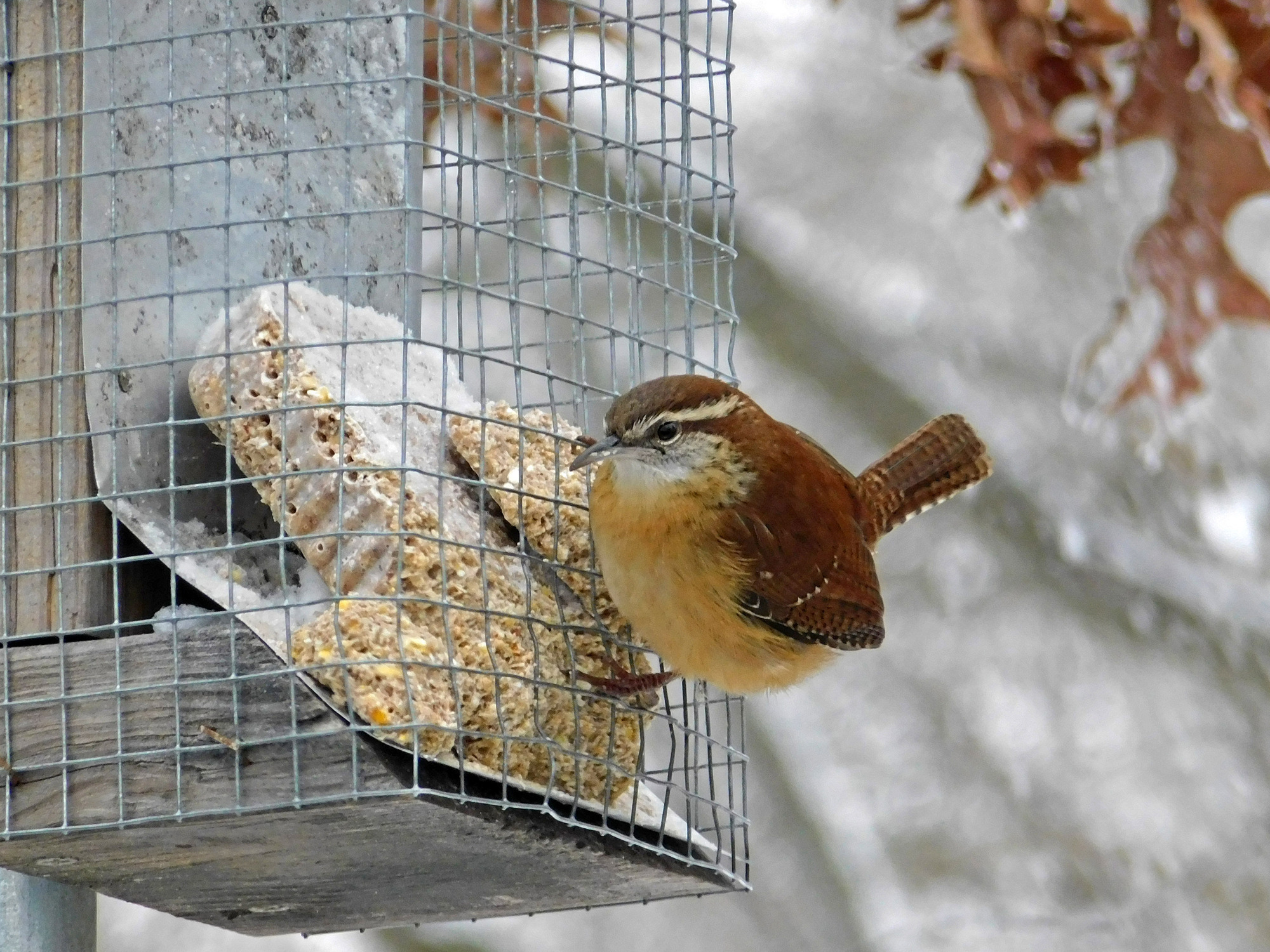 A Carolina wren tests itself against our winter.