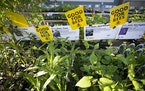 Bee friendly plants at the Friends School Plant sale, which will be held in the Midway area this year instead of the Grandstand at the State Fairgroun