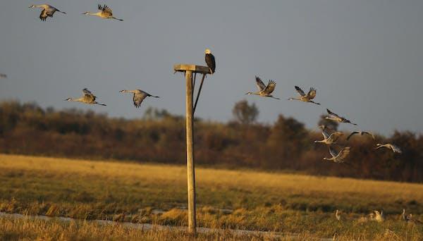 A bald eagle watched passing sandhill cranes at Crex Meadows Wildlife Area. DAVID JOLES • Star Tribune file