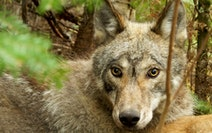 Wolves in Voyageurs National Park have been virtually ignoring moose as prey during the spring and summer, when moose calves are at their most vulnera