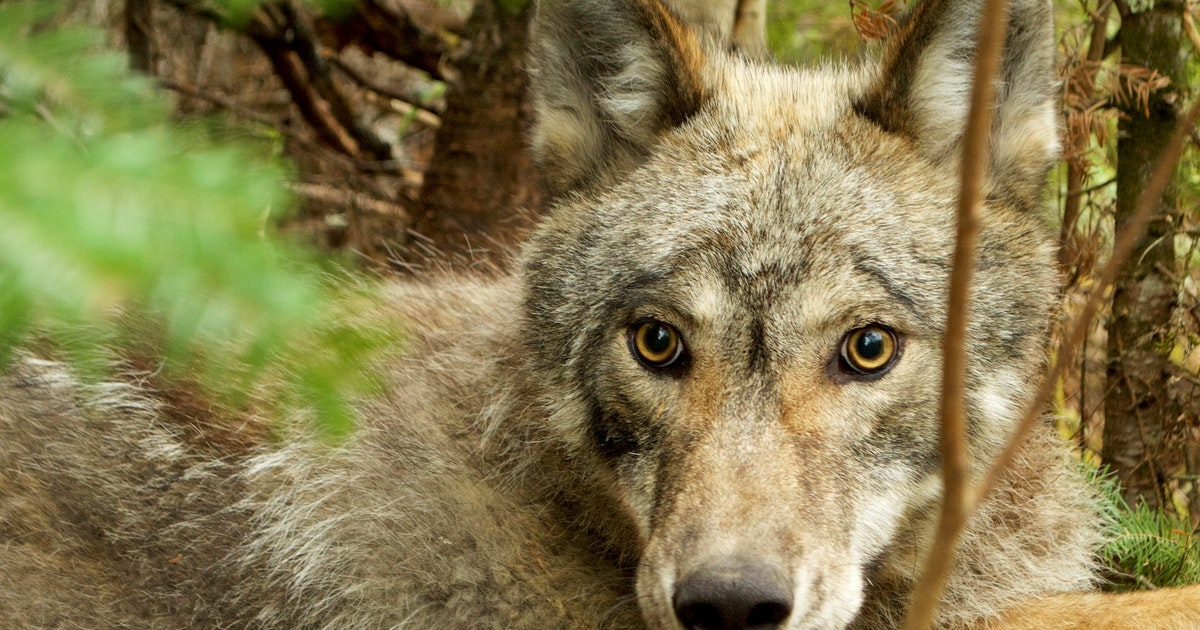 First collar video from wild Minnesota wolf shows fishing skills, adaptability