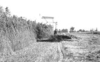 Farmers in Mapleton, Minn. harvest hemp for the first time in 1943.