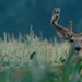 A 10-point buck with velvet antlers in summer. Minnesota deer hunters will notice new regulations next week when the DNR releases its rule book for th