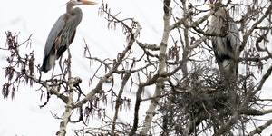 A pair of great blue herons sat among their colony of nests hidden in the forest Thursday, April 15, in Rochester Township.