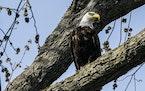 Once endangered, bald eagles are now a not uncommon site even in the metro area, like this one seen in Lakewood Cemetery in Minneapolis.