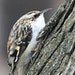 Jim Williams Brown creepers hunt for food in the rough bark of large trees.