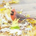 A handsome cardinal picks through leaves for seeds.