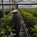 Workers tend to cannabis plants in a greenhouse in California in 2018.