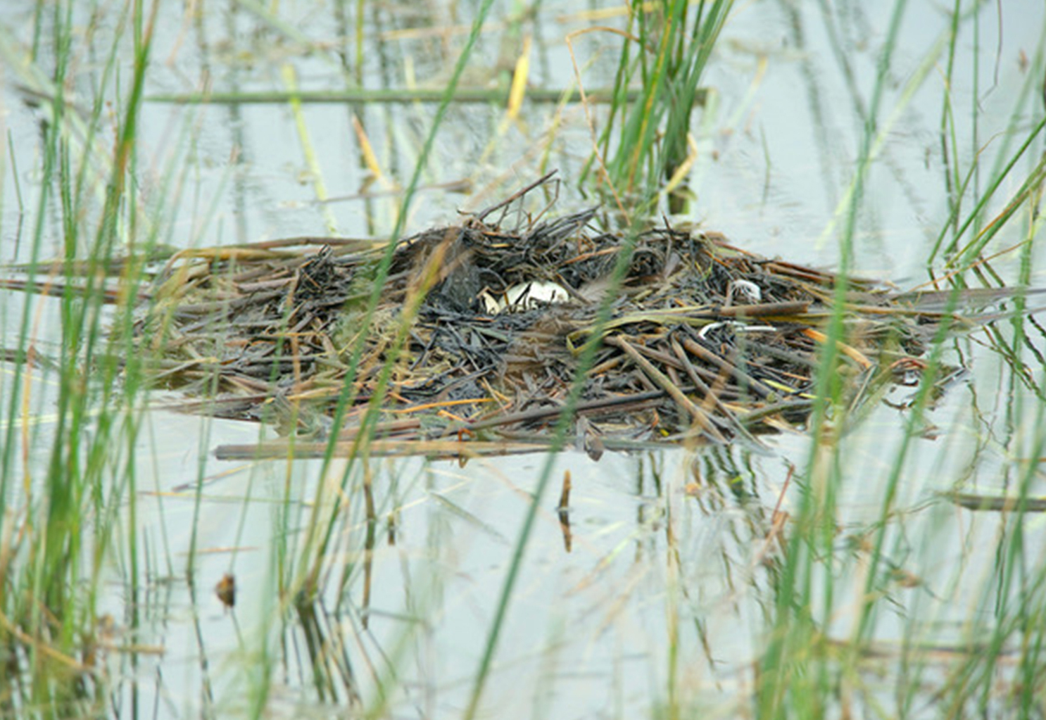 A grebe — horned or eared — used reeds to build this floating nest. The white eggs are visible when the bird leaves the nest, so it uses reeds to hide the eggs.