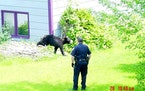 Bears have found their way into Woodbury before. This 2003 photo showed a 100-pound black bear that had been ambling through Woodbury.