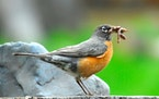Both robin parents get nourishment to their young.