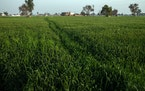 A wheat field on Feb. 26, 2021, in the village of Kale, India.
