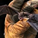 A little brown bat photographed Friday, Sept. 17, 2010 in La Crosse Wis.  (AP Photo/La Crosse Tribune, Peter Thomson)