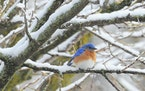 This Eastern bluebird found a snowy welcome in Minnesota a few years ago. A short-term touch of late winter weather did not kill birds here then as se