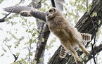A great horned owl leaped from its perch in a tree.