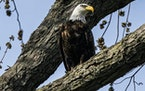 While bald eagles are no longer an endangered species, they are still protected by multiple federal laws, and other state and municipal statutes.