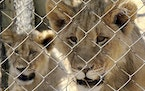 In this photo supplied by Blood Lions a couple of sub adult lions are held at a captive tourism facility in South Africa Sept 9, 2019. South Africa sa