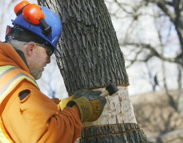 Minnesota Parks and Recreation Board forestry workers cutting down 39 more ash trees in Tower Hill Park after discovering they'd been infested by th