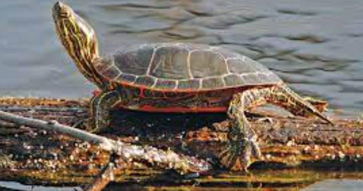Wildlife staff mystified by die-off of more than 100 turtles in western Minnesota refuge