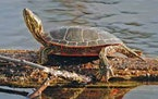 Painted turtle  Credit: Minnesota Department of Natural Resources