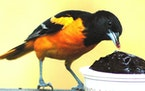 Orioles love seeing grape jelly at a feeder.