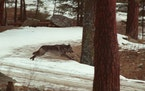 FILE - In this Jan. 14, 1995, file photo, a wolf leaps across a road into the wilds of Central Idaho. Idaho Gov. Brad Little has signed into law a mea
