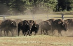 The National Park Service is opening a rare opportunity for skilled volunteers to help reduce the population of bison that are roaming the far reaches