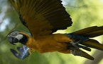 A blue-and-yellow macaw that zookeepers named Juliet flies outside the enclosure where macaws are kept at BioParque, in Rio de Janeiro, Brazil, Wednes