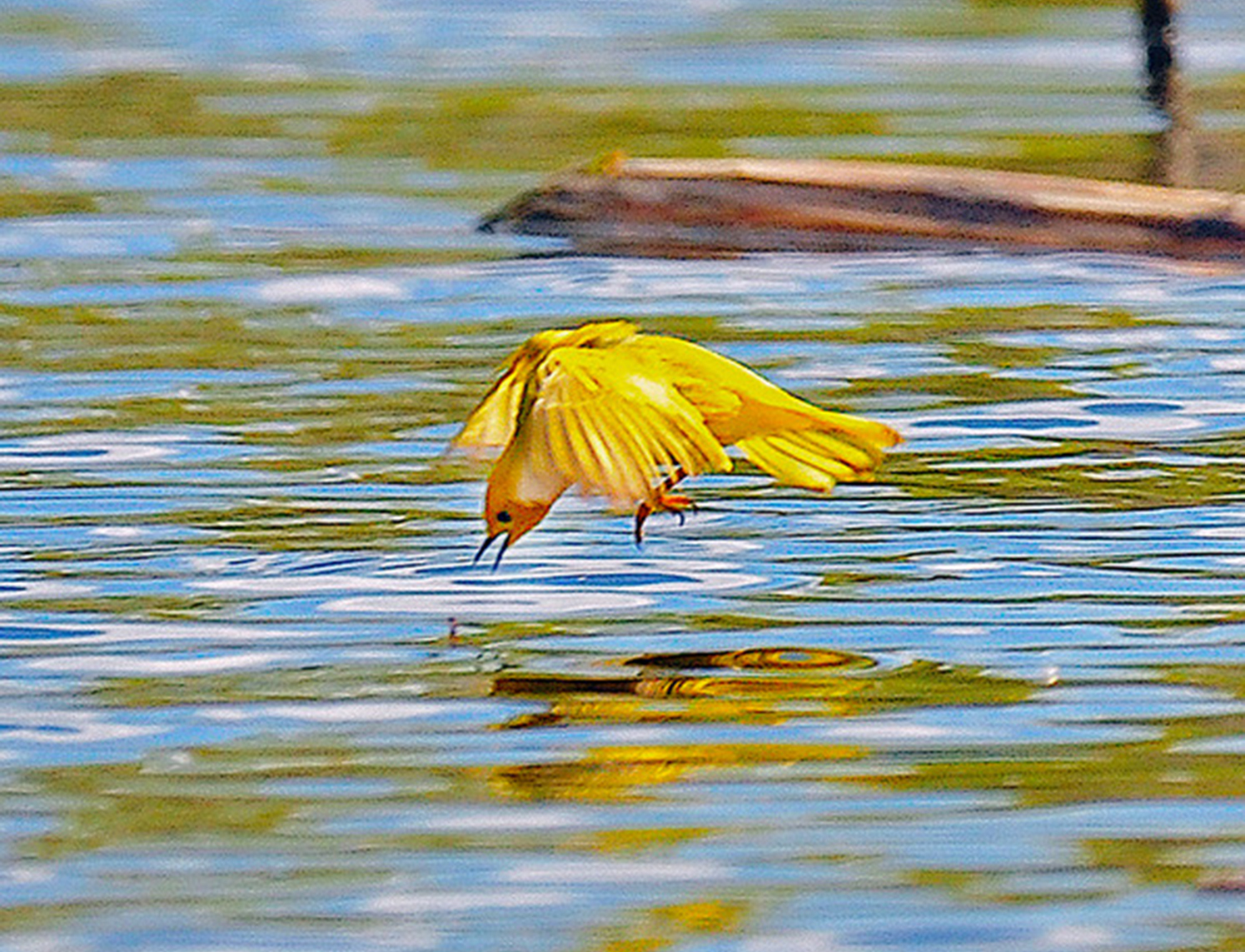 A yellow warbler swoops down for insects.