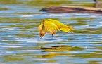 A yellow warbler swoops down for insects.Photo by Jim Williams