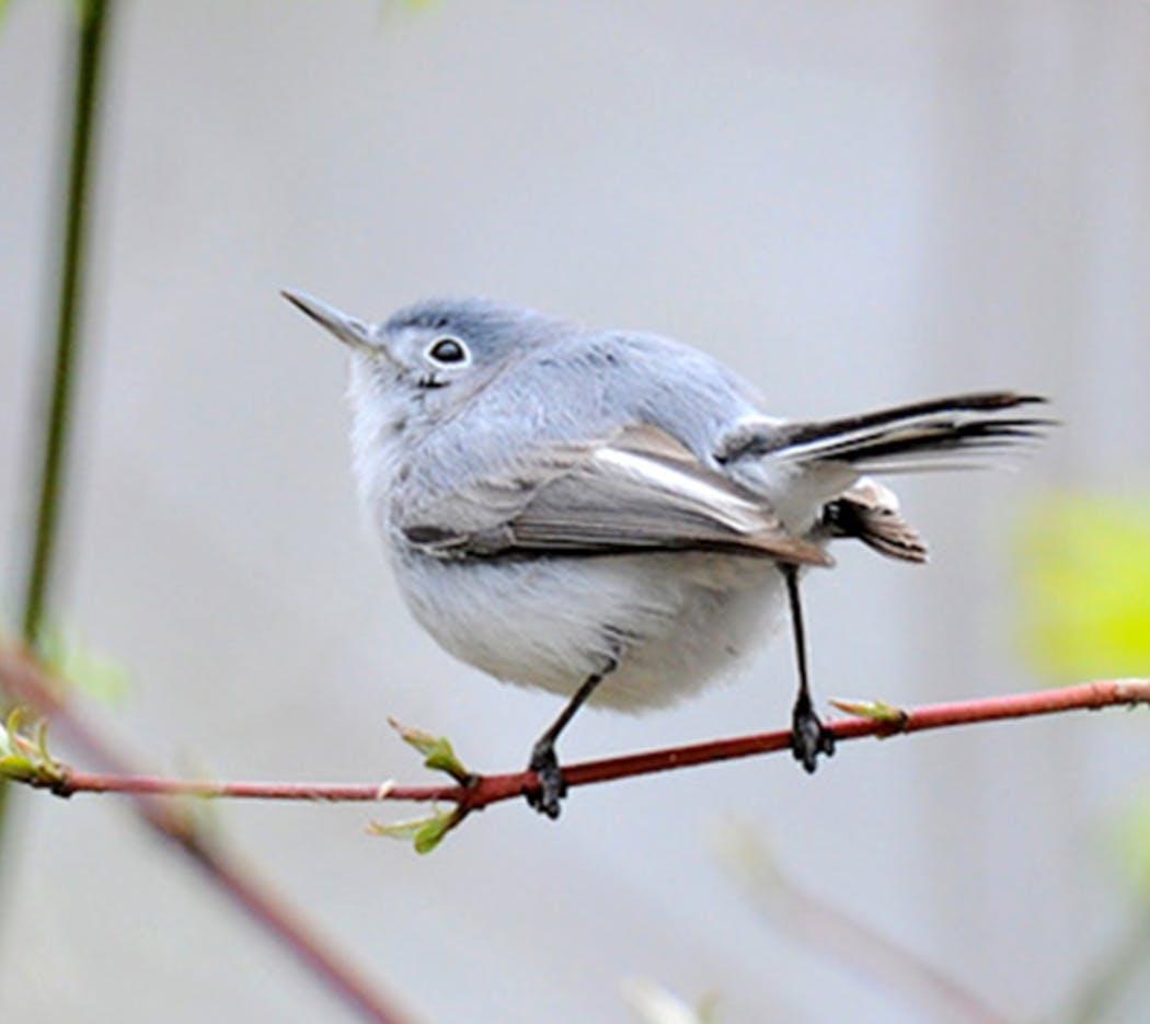 A blue-gray gnatcatcher.