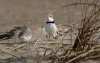 Winged celebrities: Chicago's pre-eminent plovers are together again, settling in for their third summer of saving their species at Montrose Beach a
