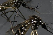 Male (top) and female (bottom) Aedes aegypti mosquitoes are seen through a microscope.