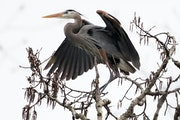 A great blue heron sat among the colony of nests hidden in the forest in April.