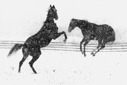 November 2, 1992 First snow of the season Snow dancing -- These two horses frolicked in a pasture along highway 41 near Chaska during Monday morning's
