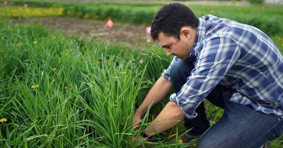 New kind of wheat shows promise for cleaning nitrates from soil, water
